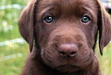 Labrador Retriever / Love the lab I currently have three fury kids / by Yolanda Iding