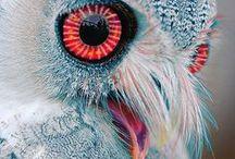 Κουκουβαγιες / Owl