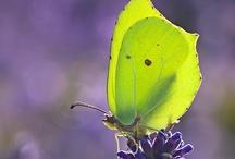Papillon / by Hevel Cava ♚♌
