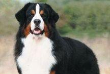 Bernese mountain dogs & Golden retrievers