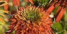 Jeżówki (Echinacea)