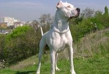 Vand catei Dog Argentinian / Vand pui Dog Argentinian, cu sau fara pedigree, pentru paza sau companie. Masculi si femele la 2 luni, vaccinati si deparazitati, carnet de sanatate, pasaport, microcip. Garantie de sanatate si de rasa, prin contract. Transport gratuit. Pentru informatii suplimentare va rugam sa ne contactati. Va multumim!