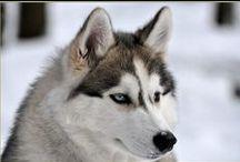 Husky Siberian de vanzare / Vindem catei Husky Siberian, masculi si femele. Vaccinati si deparazitati, carnet de sanatate, pasaport, microcip. Pentru informatii suplimentare va rugam sa ne contactati. Va multumim!
