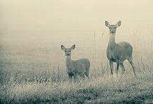 Deer / Oh deer, oh deer