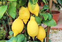 Agrumi - Citrus / Vendita Online Piante di Agrumi - Sale Online Citrus Trees.