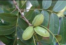 Noce Pecan / Vendita Online Piante Noce Pecan in vaso - Sale Online Pecan Nut Trees in pot.