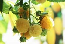 Lampone - Raspberry / Vendita Online Piante di Lampone in vaso - Raspberry Trees Shop Online - http://europlantsvivai.com - http://piantedafrutta.com