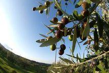 Olivi - Olive Trees / Vendita Online Olivi in Vaso ed Ornamentali - Sale Online Olive Trees in pot.