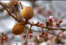 Mandorla - Almond / Vendita Online Piante di Mandorlo in vaso - Sale Online Almond Trees in pots.