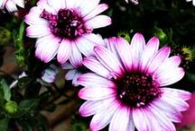 Fiori - Flowers / Euro Plants Vivai - Azienda Agraria di Floricoltura - Flower Farming