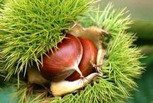 Marroni - Chestnut