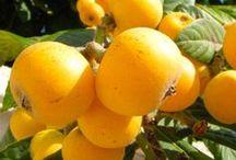 Nespolo del Giappone - Loquat Trees / Vendita Online Piante di Nespolo del Giappone in vaso. Sale Online Loquat Trees in pot.