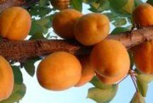 Albicocco - Apricot  / Vendita Online Piante di #Albicocco in vaso - Sale Online #Apricot Trees in pot.