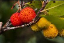 Corbezzolo - Arbutus / Vendite Online Piante di Corbezzolo in vaso - Sale Online Arbutus Trees in pot.