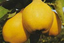 Cotogno - Quince / Vendita Online Piante di Cotogni in vaso - Sale Online Quince Trees in pot.