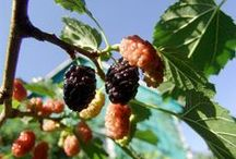 Gelso - Mulberry / Vendita Online Piante di Gelsi in vaso - Sale Online Mulberry Trees in pot.