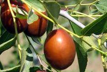 Giuggiolo - Jujube Trees / Vendita Online Piante di Giuggiolo in vaso. Sale Online Jujube Trees in pot.