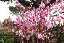 Pesco da Fiore - Peach Flower Trees / Vendita Online Piante di Pesco da Fiore in vaso - Sale Online Peach Flower Trees in pot.