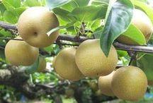 Nashi / Vendita Online Piante di Nashi in vaso. Sale Online Nashi Trees in pot.