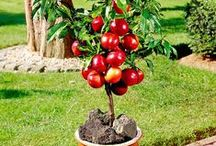 Nettarine Nane - Dwarf Nectarine / Vendita Online Piante di Nettarine Nane in vaso. Sale Online Dwarf Nectarine Trees in pot.