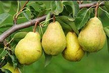 Pera - Pear / Vendita Online Piante di Pera in vaso. Sale Online Pear Trees in pot.