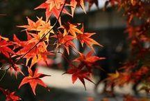 Acero Palmato – Acer Palmatum Maple Plants / Vendita Online Piante di Acero Palmato in vaso. Sale Online Acer Palmatum Maple Plants.
