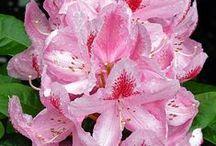 Rhododendron / Vendita Online Piante di Rhododendron. Sale Online Rhododendron Plants.