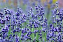 Lavanda - Lavender / Vendita Online Piante di Lavanda in vaso. Sale Online Lavender Plants in pot.