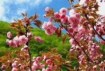 Ciliegio da Fiore Kanzan - Cherry Blossoms Kanzan / Vendita Online Piante di Ciliegio da Fiore Kanzan in vaso. Sale Online Cherry Blossoms Kanzan Tree in pot.