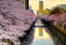 Sakura / Vendita Onlina Piante di Ciliegio Ornamentale Giapponese (Sakura). Sale Online Cherry Blossoms Japanese Trees (Sakura).