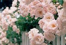 Rose Nostalgiche - Nostalgic Roses / Vendita Online Rose Nostalgiche. Sale Online Nostalgic Roses.
