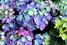 Hydrangea - Ortensia / Vendita Online Piante di Hydrangea Macrophylia, Ortensia. Sale Online Hydrangea Macrophylia Plants.
