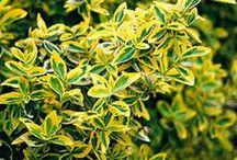 Euonymus / Vendita Online Piante di Euonymus. Sale Online Euonymus Plants.