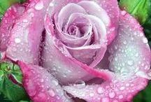 Rose e Pioggia - Roses and Rain / Varietà di Rose resistenti alla Pioggia - Variety of Rose Resistant to Rain.