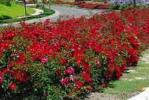 Rosai Coprisuolo - Ground Cover Roses / Vendita Online Rosai Coprisuolo. Sale Online Ground Cover Roses.