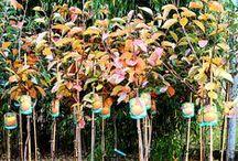 Piante da Frutto Autunno 2014 in Vivaio / Immagini delle Piante da Frutto in vaso presso Euro Plants Vivai durante l'Autunno 2014.