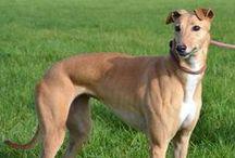 Dog Greyhound/Galgo diy