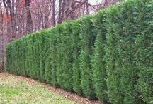 Privacy Screens, Hedges