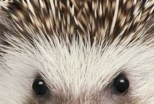 HEDGEHOGS & Friends / They may be prickly, but they're cute