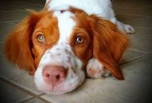 Brittany Spaniel Dogs / All about Brittany spaniels! One of the best dog breeds. :)