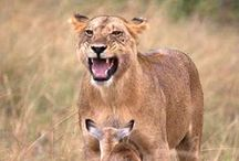South African Wildlife / South Africa has abundant wildlife. Here are a few reasons to come and stay at one of our game lodges and experience South Africa's wildlife. www.tourismgrading.co.za