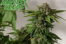 SEEDS / Home Of The Lifetime Medical Marijuana Referral Program! Visit http://www.ogdeliveries.org