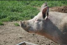 Økologisk svinekød / Livet som økologisk dansk gris
