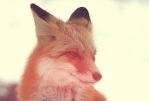 Fox Foto