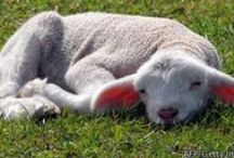 Don't eat lambs...and pigs ...and goats, and rabbits...Hell, just become a vegetarian :)