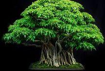 Bonsai / drzewka bonsai