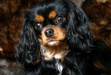 Cavalier kingcharlesinspaniel