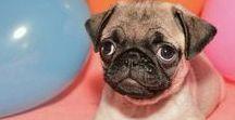 Pugs. / So. Many. Pugs.