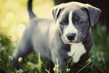 Pit bulls / In a Perfect world, every dog would have a home and every home would have a dog.