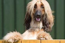 Afghan hound / My goal in life is to be as good as a person my dog already thinks i am.